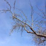 Altbaum geschnitten
